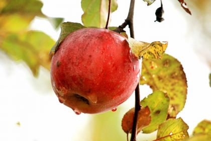 close up of a wet red apple hanging on a brnach